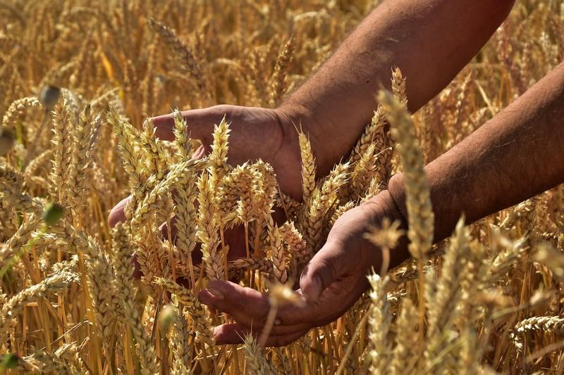 La storia del nostro grano antico Perciasacchi